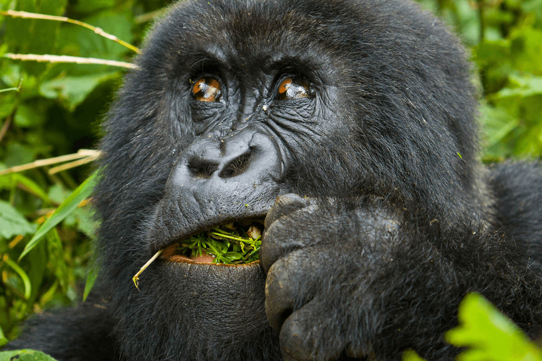 5 DAYS GORILLAS AND GOLDEN MONKEY SAFARI