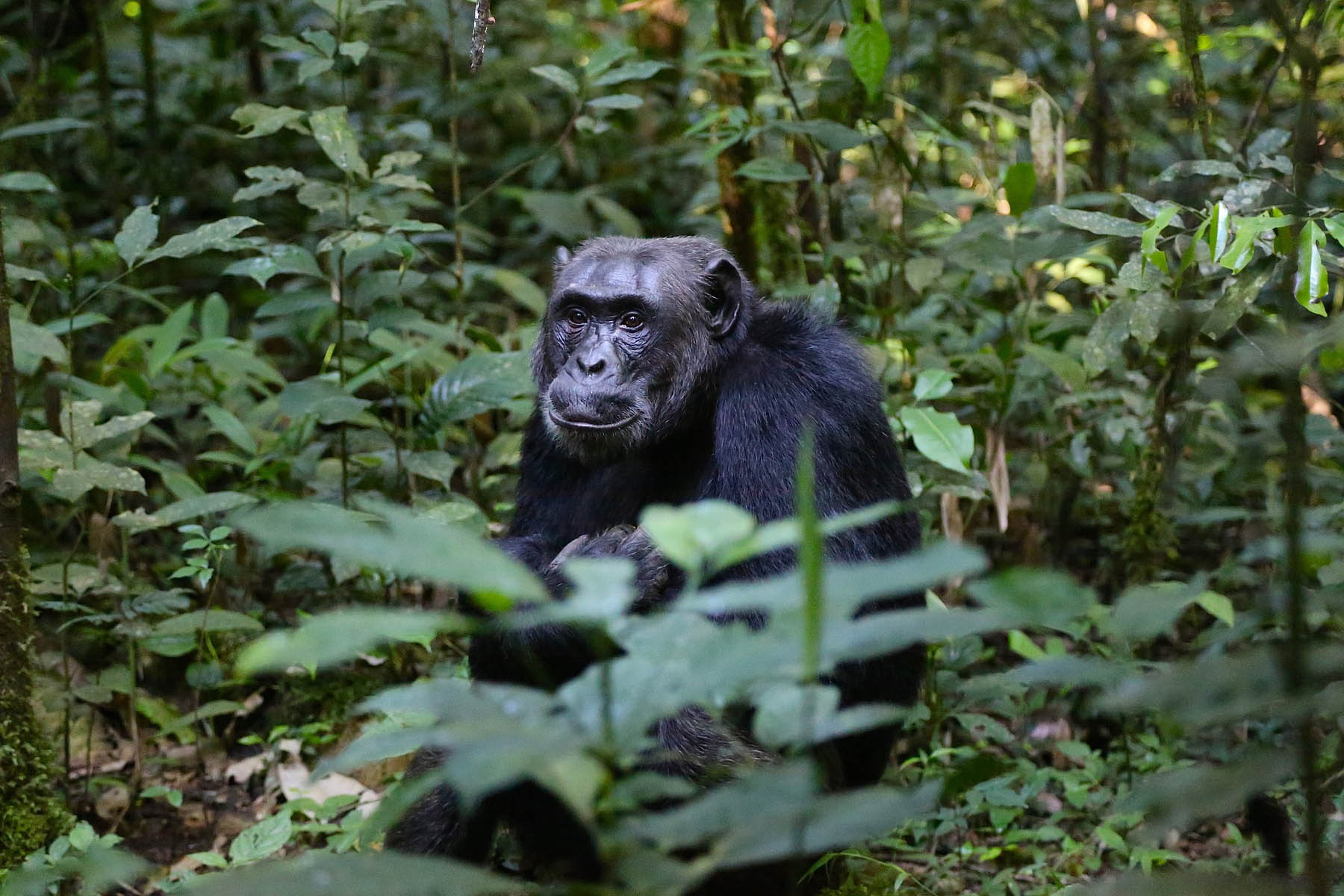 4 DAYS CHIMP TRACKING SAFARI