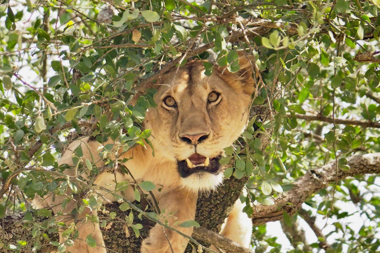 Queen Elizabeth tree climbing lions